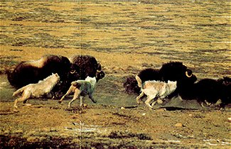 Arctic Wolves Chasing Musk Oxen