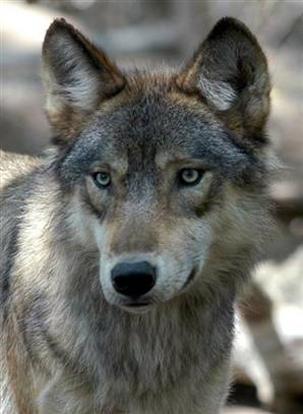 Great Plains Wolf